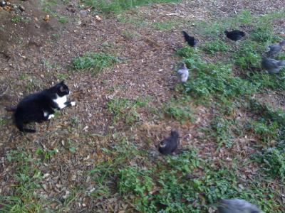 Blue and black Ameraucana chicks and Livestock Guard Cat relaxing on a backyard berm