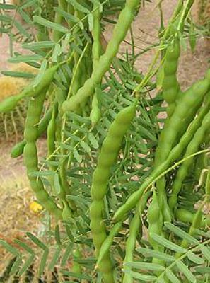 Unripe Honey Mesquite (Prosopis glandulosa) pods
