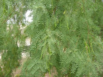 Honey Mesquite (Prosopis glandulosa) foliage