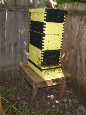 Backyard Langstroth beehive with bees